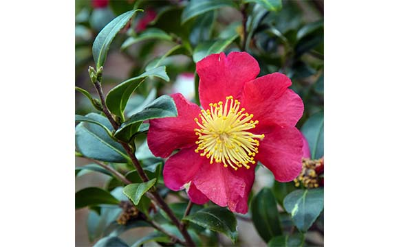 Twin Rivers Camellia Club