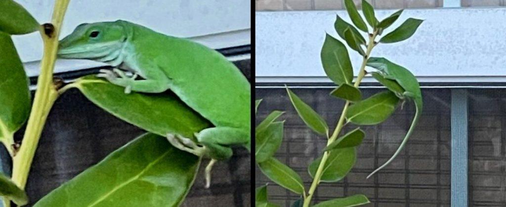 Two green lizards